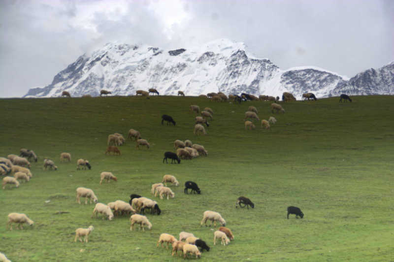 Sheep graze on Bedni Bugyal with Trishul peak as the backdrop. Bedni Bugyal is one of the most popular treks in Uttarakhand.