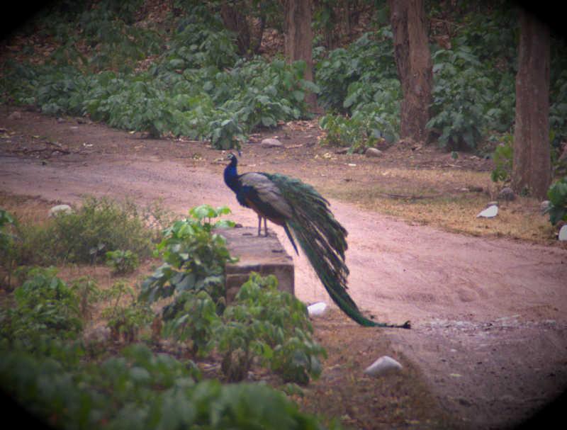 There are plenty of peacocks in Rajaji National Park.