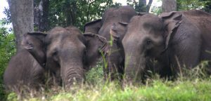A herd of wild elephants at Parambikulam reserve.