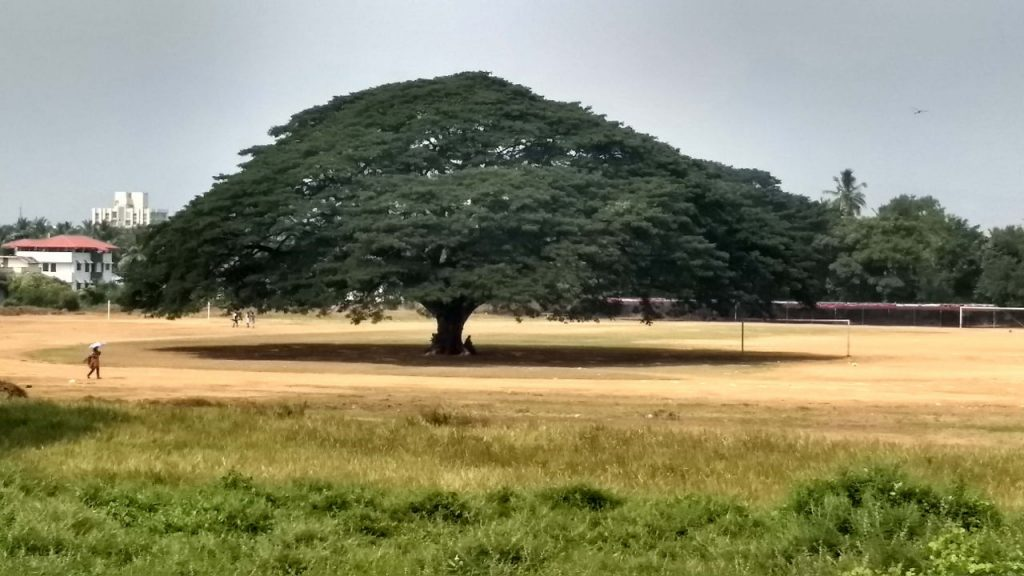 Victorian Grand tree, Palakkad